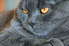 Cat's portrait with yellow eyes. Image of cat's portrait with yellow eyes Royalty Free Stock Images