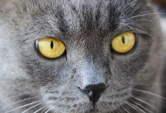 Cat's portrait with yellow eyes Stock Photography