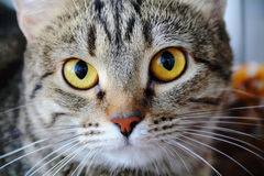 Cat's portrait with yellow eyes. Image of cat's portrait with yellow eyes Stock Photo