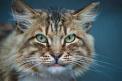 Cat's predator look. A cat looking angrily forward Stock Photography