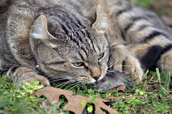Cat with It's Prey royalty free stock image