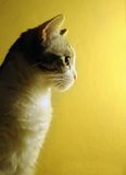 Cat's profile. Close up profile of a cat on a yellow background Stock Image
