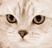 Cat's sight. Portrait of purebred cat close-up . Sepia Stock Images