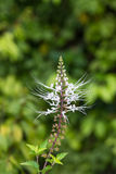 Cat's whiskers flower close-up. It is also known as Java Tea plant. Royalty Free Stock Image