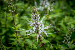 Cat`s Whiskers. Flower of Cat`s Whiskers plant stock image