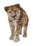 Cat Sabertooth grande fotografía de archivo libre de regalías