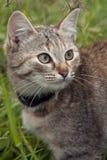 Cat Sabi. Royalty Free Stock Image