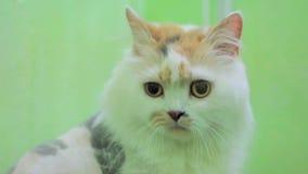 Cat With Sad Eyes Looking na câmera vídeos de arquivo