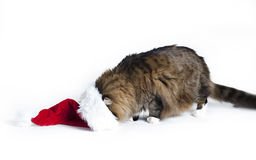 Cat Santa Hat royaltyfria foton