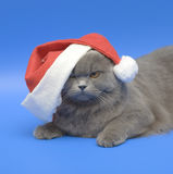 Cat Santa - Klaus. Dogs and cats in the most different situations and positions. Cat. Long-haired Scottish fold. Santa - Klaus Stock Images