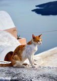 Cat in Santorini, Greece Stock Images