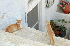 CAT IN SANTORINI. The Greek island of Santorini in the Mediterranean is famous for it`s cats which can be found when wandering through the island`s narrow royalty free stock images