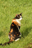 Cat sat in grass. Calico or tortoiseshell cat sat in grass royalty free stock photos
