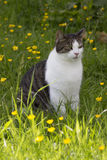 Cat sat in Grass and Buttercups Stock Photos