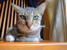 Cat sat on wooden chair Stock Photography