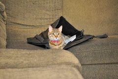 Cat in a Satchel. A cat lies in her newly claimed home: someone's satchel left lying on the couch Royalty Free Stock Photo