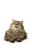 Cat says meow. Norwegian domestic cat says meow Stock Images