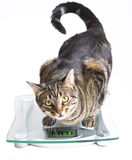 Cat on a scale. Over white background Royalty Free Stock Photography