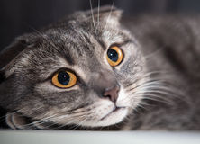 Cat scared looks Royalty Free Stock Photo