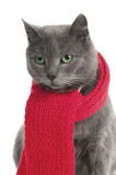 Cat with a Scarf. Gray cat with a red Scarf royalty free stock images