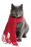 Cat with a  Scarf. Gray cat with a red Scarf Stock Photography