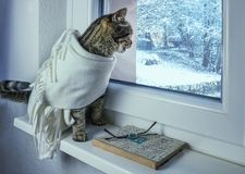 The cat in the scarf looks out the window. royalty free stock image