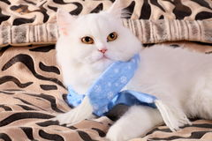 Cat with a scarf on a neck. The Persian cat with a scarf lays on a beautiful coverlet Stock Images