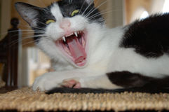 Cat with scary face. Black and white cat yawning and displaying its teeth and toungue Stock Photos