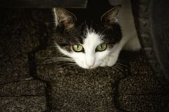 Cat, Scheu, Cat'S Eyes, Anxious Royalty Free Stock Images