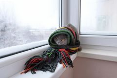 Cat of Scottish British breed wrapped in a warm scarf looking ou Royalty Free Stock Photos