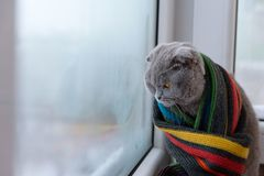 Cat of Scottish British breed wrapped in a warm scarf looking ou Stock Photography