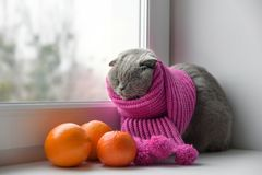 Cat of Scottish British breed wrapped in a warm scarf looking ou Stock Image