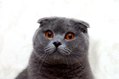 Cat Scottish Fold. Quite rare cat breed named Scottish Fold with fabulous ears and eyes stock image