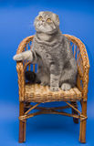 Cat Scottish Fold. Dogs and cats in the most different situations and positions Royalty Free Stock Images