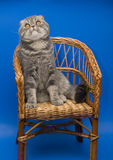 Cat Scottish Fold. Dogs and cats in the most different situations and positions Royalty Free Stock Photo