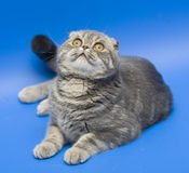 Cat Scottish Fold. Dogs and cats in the most different situations and positions Stock Photography