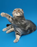 Cat Scottish Fold. Dogs and cats in the most different situations and positions Royalty Free Stock Photos