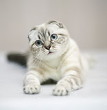 Cat. Scottish fold. Cat with blue eyes. A lying cat. Cat of breed the Scottish fold Stock Image