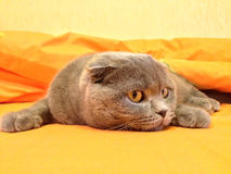 Cat Scottish Fold in Bed Royalty Free Stock Image