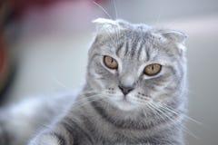 Cat. Scottish fold cat blue tabby Royalty Free Stock Photography