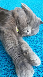 Cat, Scottish Fold genus Stock Photography