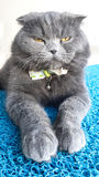 Cat, Scottish Fold genus Stock Photo