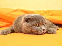 Cat Scottish Fold i säng Royaltyfri Bild