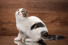 Cat. Scottish fold kitten on mirror and wooden texture Royalty Free Stock Images
