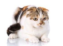 Cat scottish fold lying on a white background Royalty Free Stock Image