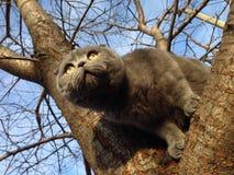 Cat Scottish Fold på trädet Arkivfoton