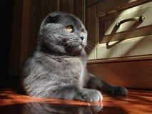 Cat Scottish Fold s'asseyant sur le plancher Photos libres de droits