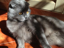 Cat Scottish Fold sitting on the floor Stock Photography