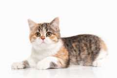 Cat. Scottish highland kitten with white on white background Stock Photography