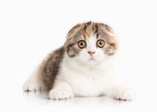 Cat. Scottish highland kitten with white on white background Royalty Free Stock Images